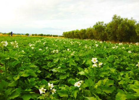 kartoffel-plantage